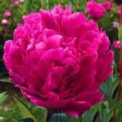 jacorma-pink-175x175